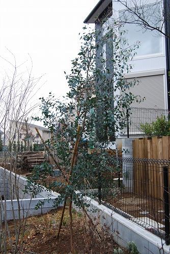 ユーカリの木 移植計画_c0124100_13424536.jpg