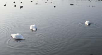 氷見の白鳥_e0008704_15385558.jpg