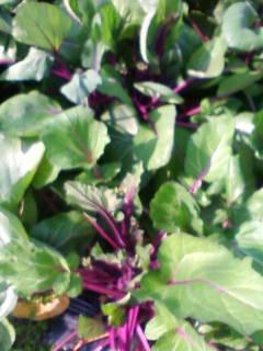 ハウスの菜花 紅菜苔_d0026905_124785.jpg