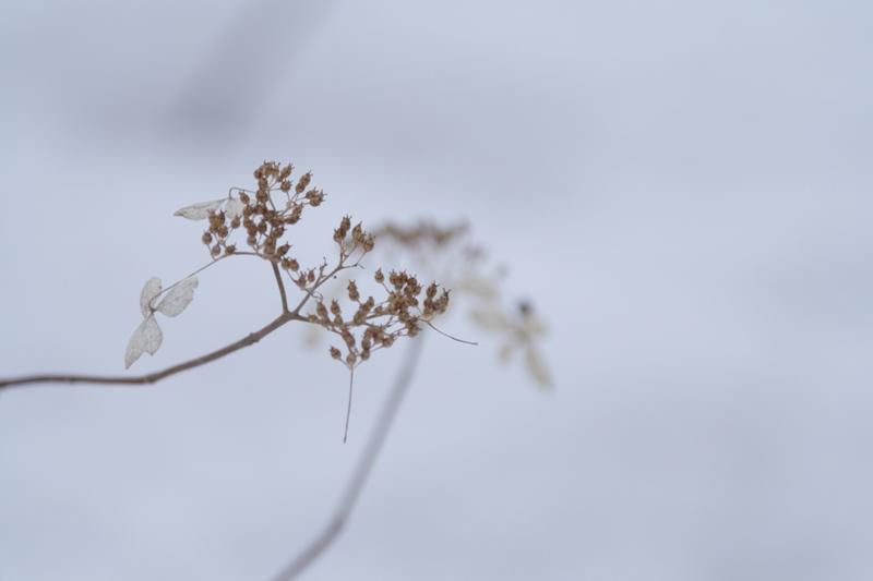 雪の上のやまあじさい_f0091207_20594234.jpg