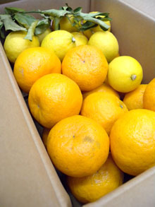 伊豆のぽんかんとレモン_d0102523_1254137.jpg