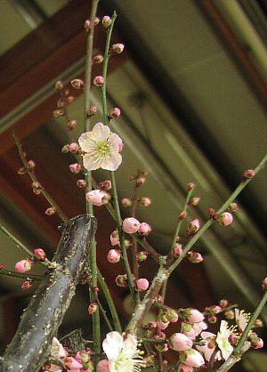 梅の花_c0141652_12462027.jpg