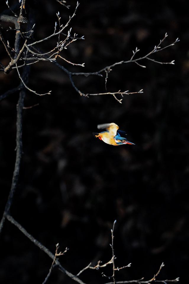 カワセミの飛び込み祭り_f0055257_20213140.jpg
