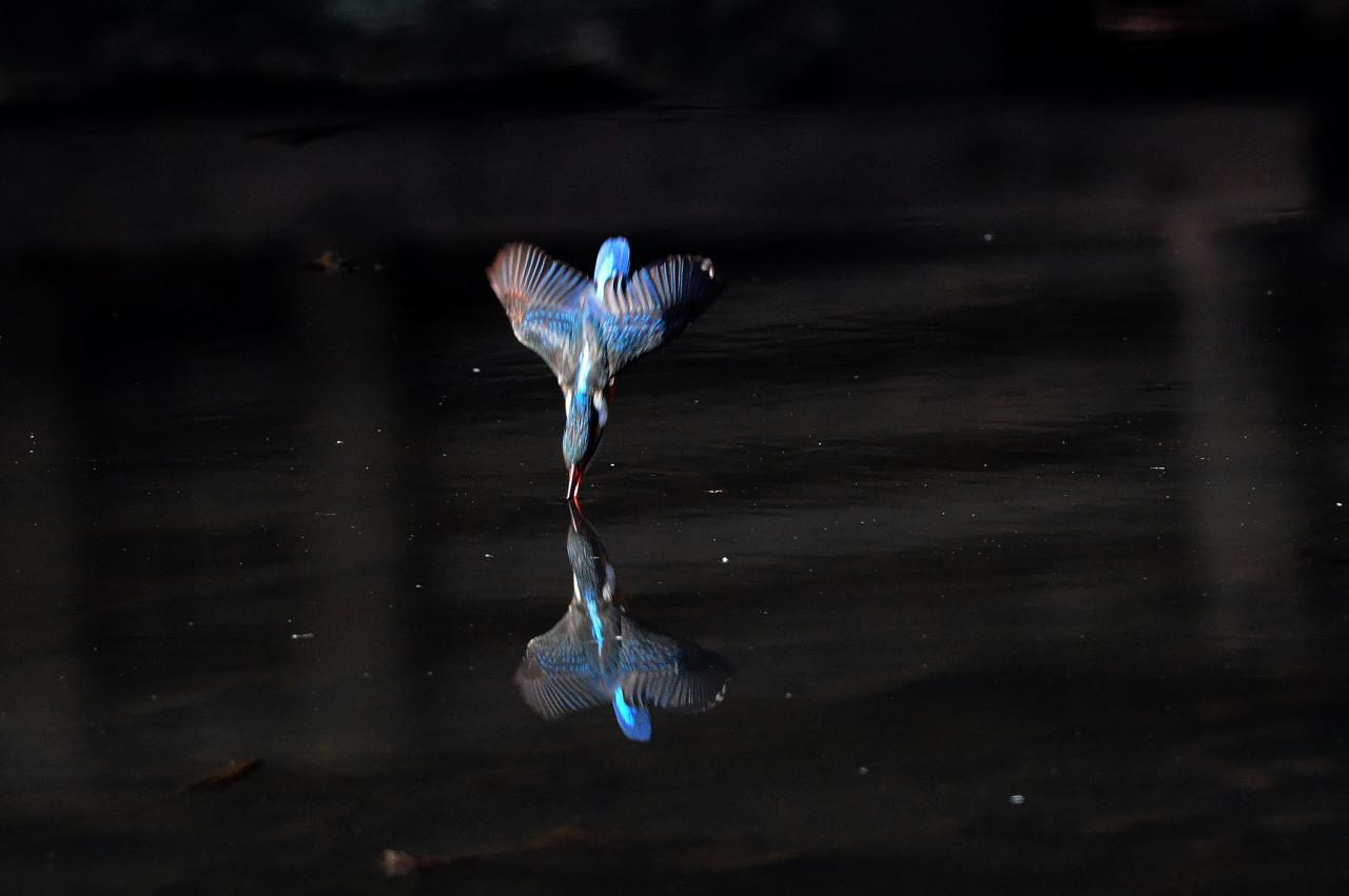 カワセミの飛び込み祭り_f0055257_20214168.jpg