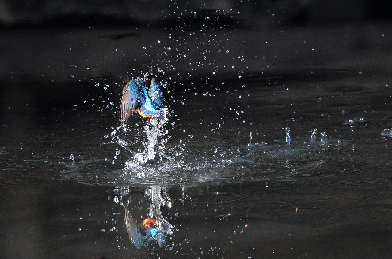カワセミの飛び込み祭り_f0055257_20215123.jpg
