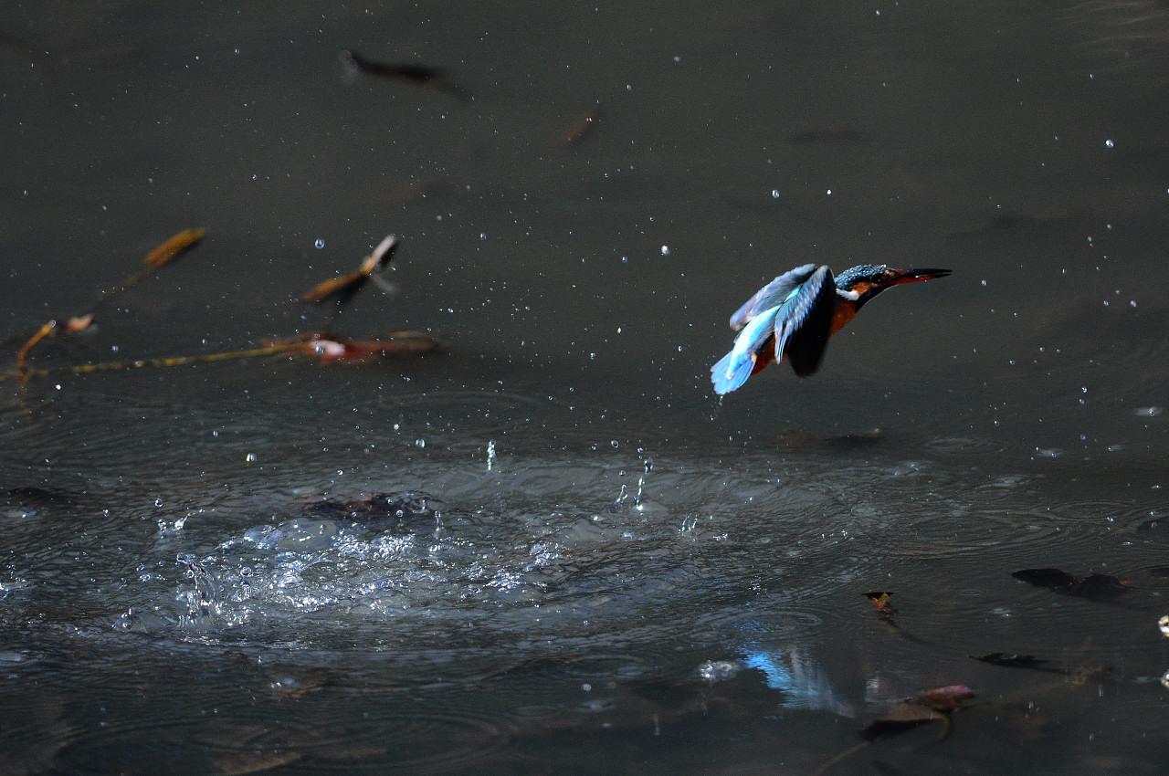 カワセミの飛び込み祭り_f0055257_2022623.jpg