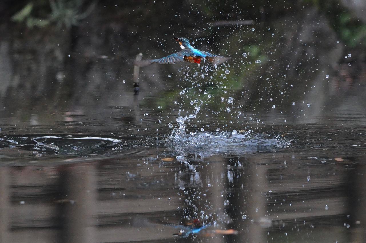 カワセミの飛び込み祭り_f0055257_20235062.jpg