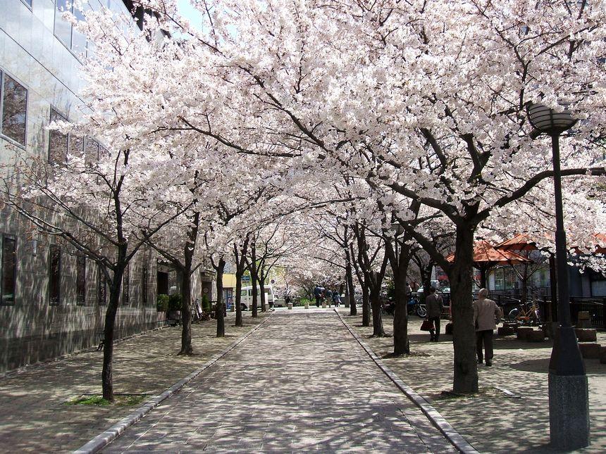 「桜情報・・・京都・白川周辺」_d0133024_1053628.jpg