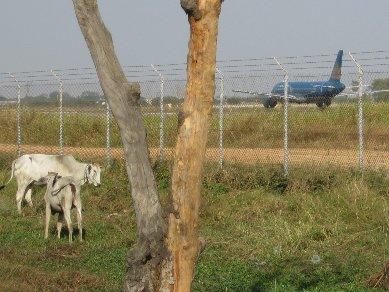 空港と牛_d0113490_2329568.jpg
