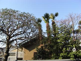 玄関前のシュロの木三本_c0016913_1256748.jpg