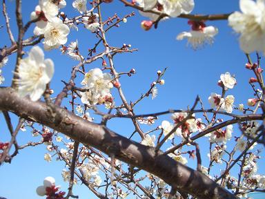 梅の花、開花と共に_e0169319_141945.jpg