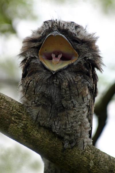 夜鷹の幼鳥_e0155629_21443812.jpg