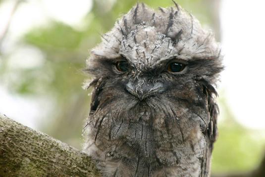 夜鷹の幼鳥_e0155629_2147016.jpg