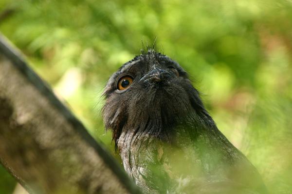 夜鷹の幼鳥_e0155629_21493652.jpg