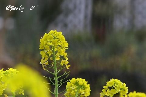 オオマシコ そして菜の花_f0037633_1841329.jpg
