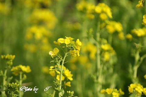 オオマシコ そして菜の花_f0037633_1842788.jpg