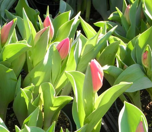 グリーンマーケットに春の気配_b0007805_22554164.jpg