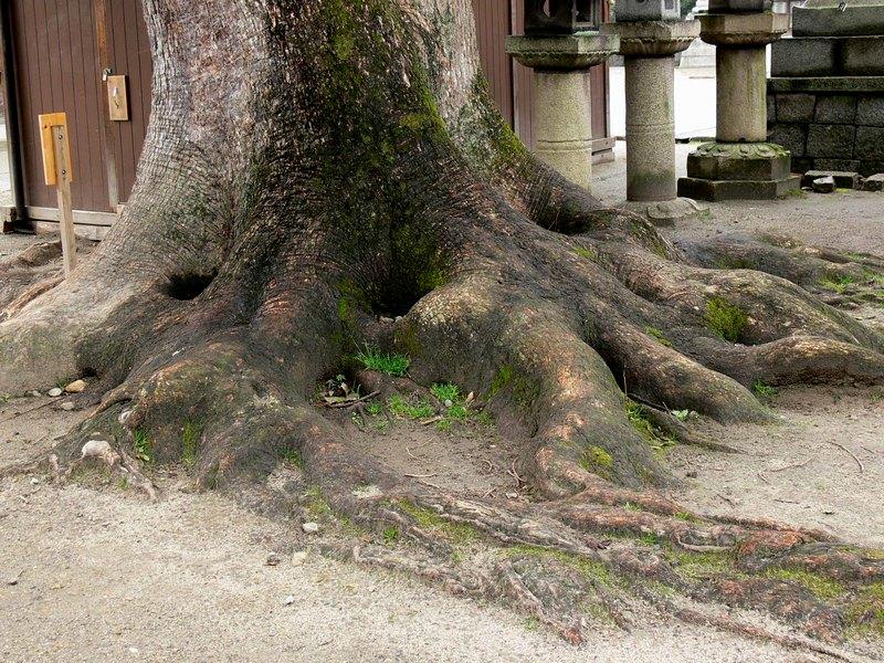 「京都・藤森神社の木…①」_d0133024_18434767.jpg
