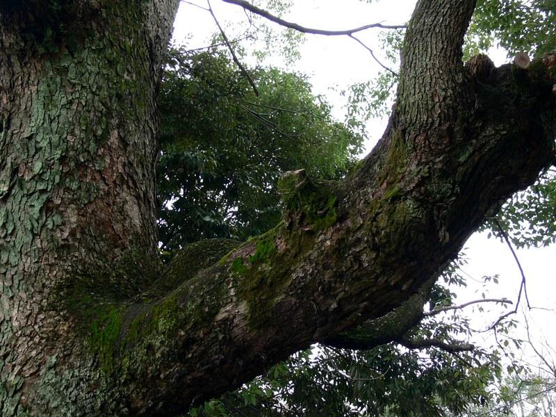 「京都・藤森神社の木…①」_d0133024_18441835.jpg