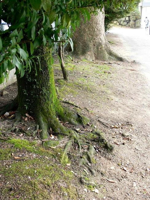 「京都・藤森神社の木…①」_d0133024_1844279.jpg