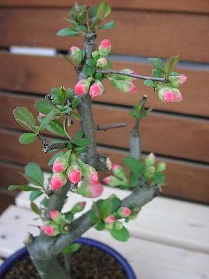 美しき花 「ボケ」_c0141652_1883648.jpg