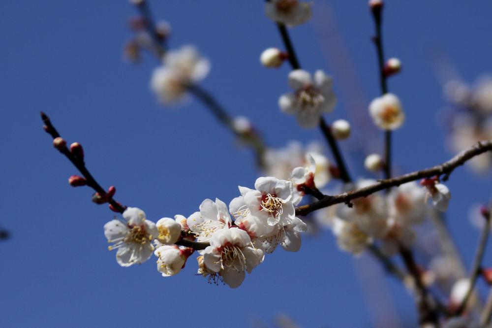 梅にアオジが_b0024798_521571.jpg