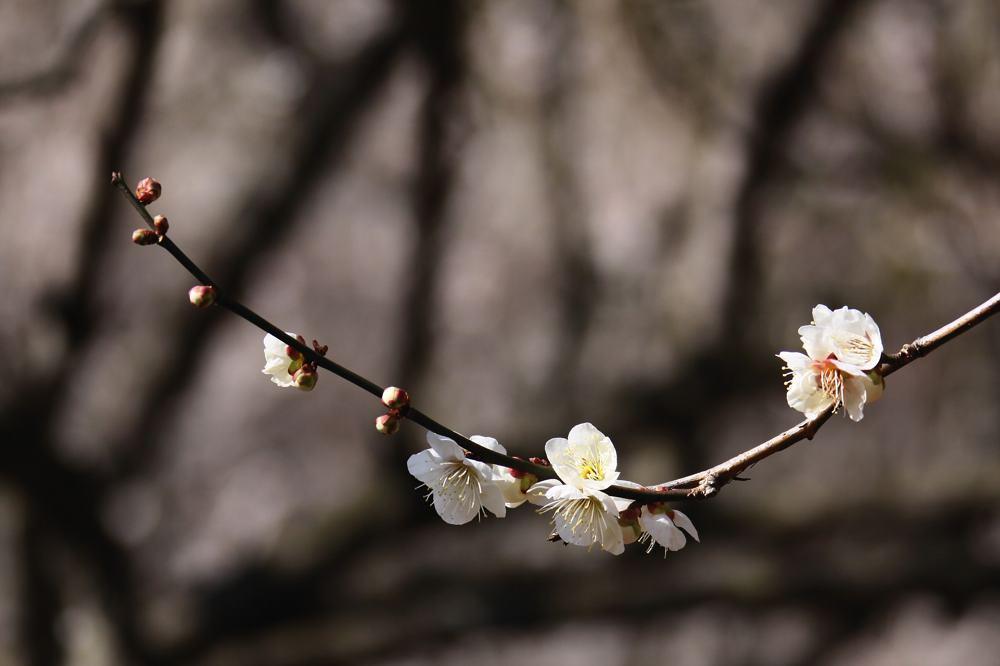 梅にアオジが_b0024798_5221248.jpg