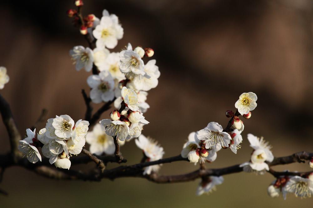 梅にアオジが_b0024798_5222457.jpg