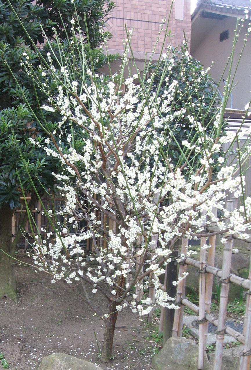 満開の梅の花が・・・・_b0020130_18122370.jpg