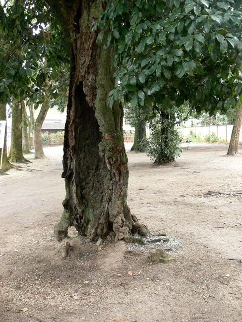 「京都・藤森神社の木…②」_d0133024_11361651.jpg