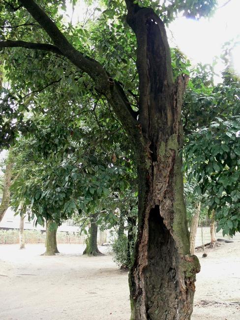 「京都・藤森神社の木…②」_d0133024_11363378.jpg