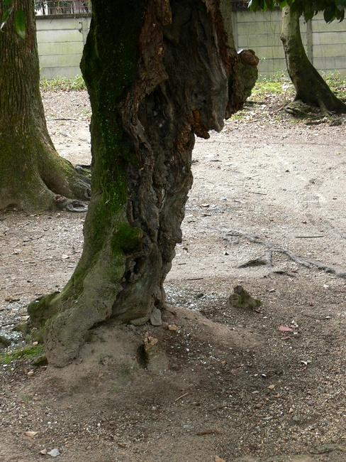 「京都・藤森神社の木…②」_d0133024_11365074.jpg