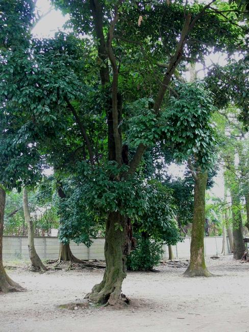 「京都・藤森神社の木…②」_d0133024_1139013.jpg
