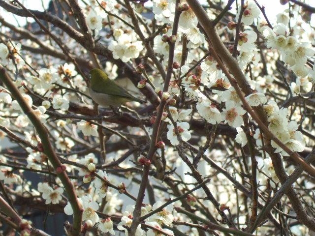 梅と桜の花.....競演...どちらも綺麗!_b0137932_18105440.jpg