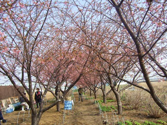 梅と桜の花.....競演...どちらも綺麗!_b0137932_18181863.jpg
