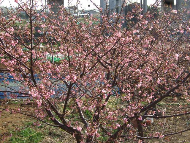 梅と桜の花.....競演...どちらも綺麗!_b0137932_1820584.jpg