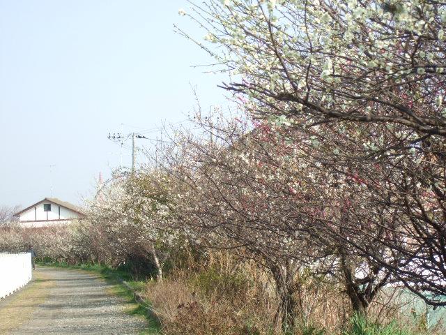 梅と桜の花.....競演...どちらも綺麗!_b0137932_188495.jpg