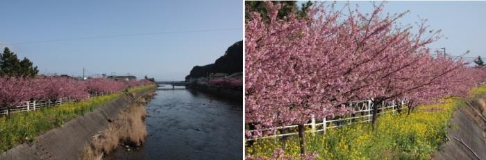 満開の河津桜_c0118352_7244815.jpg