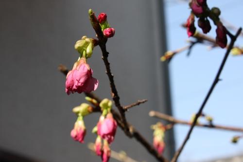 満開の河津桜_c0118352_7435216.jpg