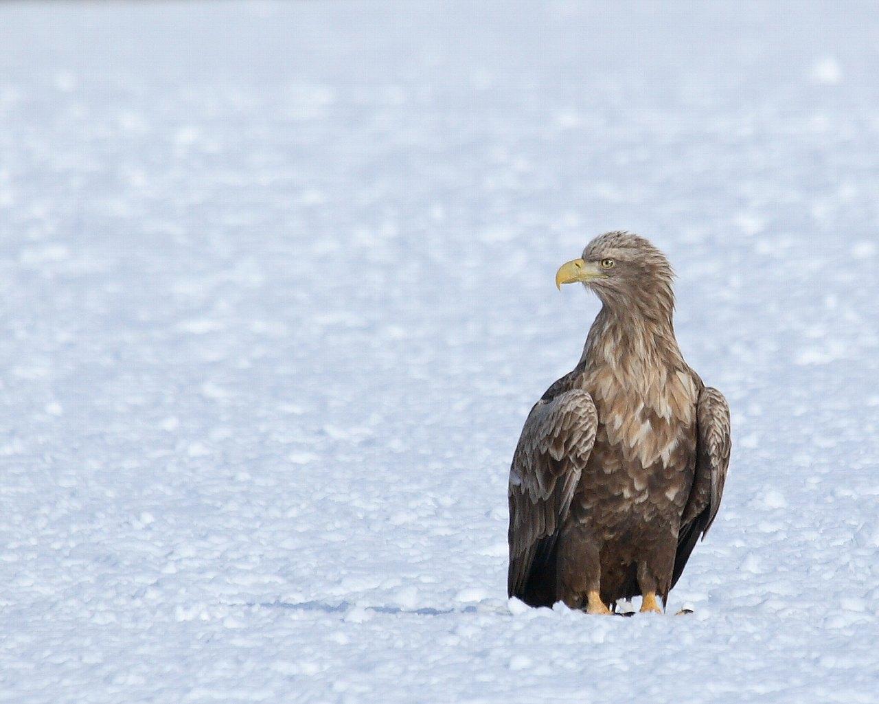 雪原上のオジロワシ(北の国の美しい冬の情景)_f0105570_22341311.jpg