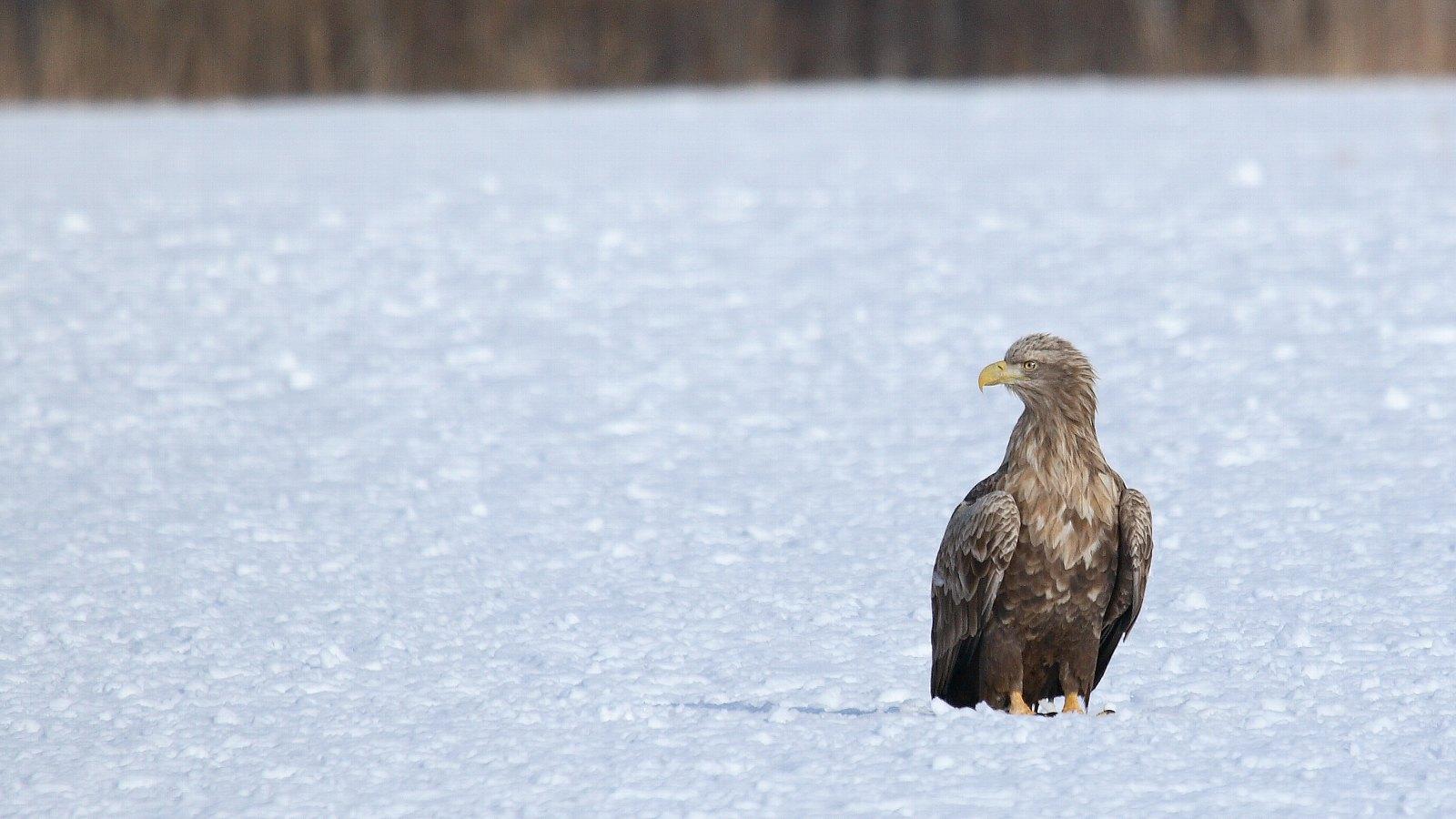 雪原上のオジロワシ(北の国の美しい冬の情景)_f0105570_2240528.jpg