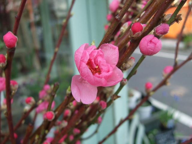 オークリーフ(桃と菜の花)_f0049672_1319151.jpg