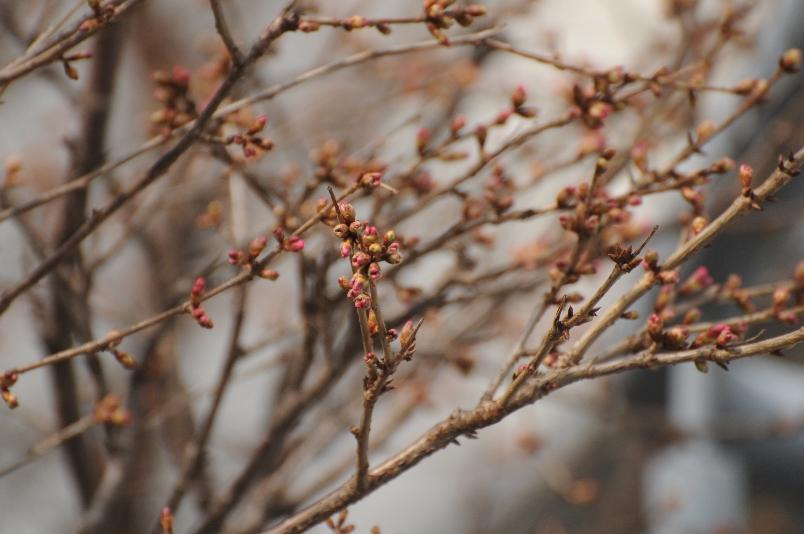 おかめ桜の膨らんだ蕾@散歩_d0056382_18212186.jpg