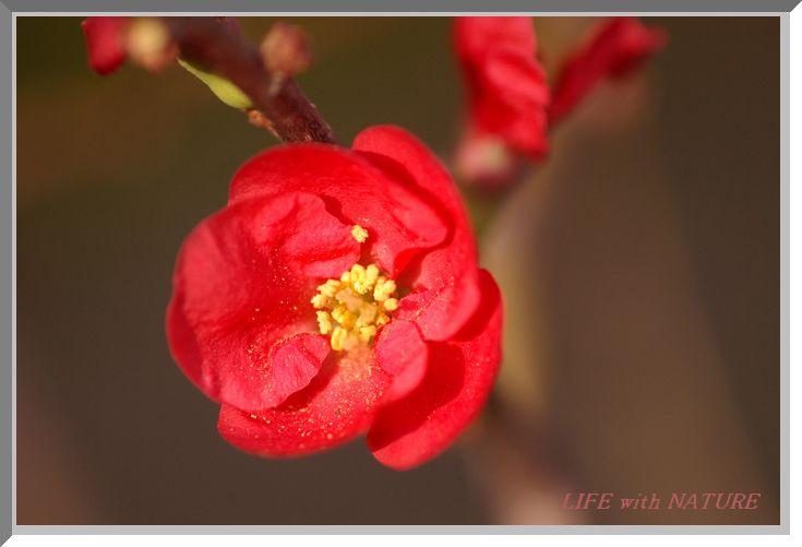 赤い木瓜_b0093088_8461853.jpg