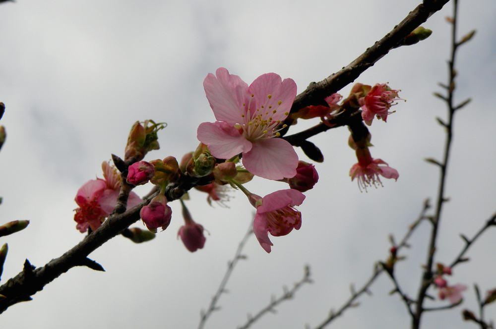 カシラダカがハイ・ポーズ/河津桜_b0024798_6251567.jpg