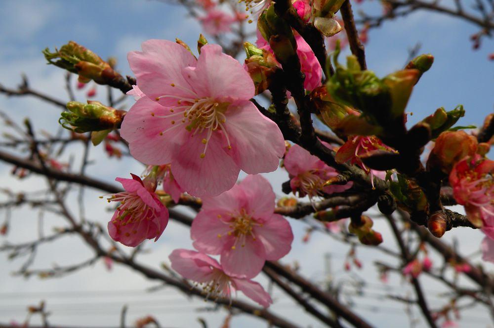 カシラダカがハイ・ポーズ/河津桜_b0024798_6252686.jpg