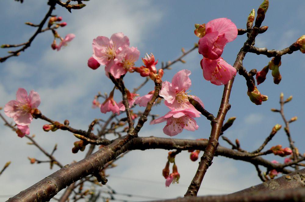 カシラダカがハイ・ポーズ/河津桜_b0024798_625364.jpg