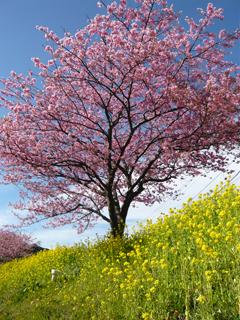 伊豆のさくらで春を想う_c0053520_2314387.jpg