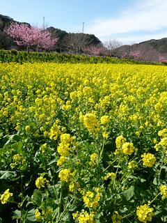 伊豆のさくらで春を想う_c0053520_233234.jpg