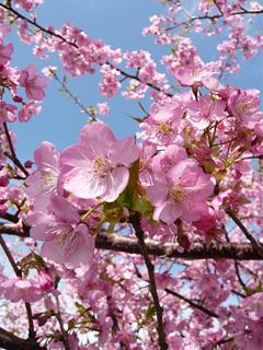 伊豆のさくらで春を想う_c0053520_23381149.jpg